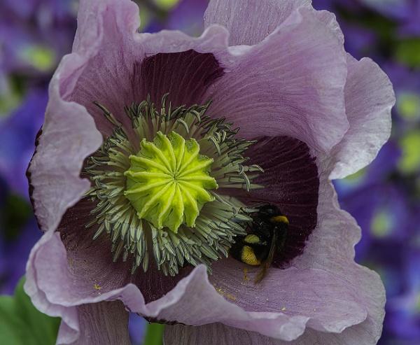 Bee in Poppy Flower by ugly