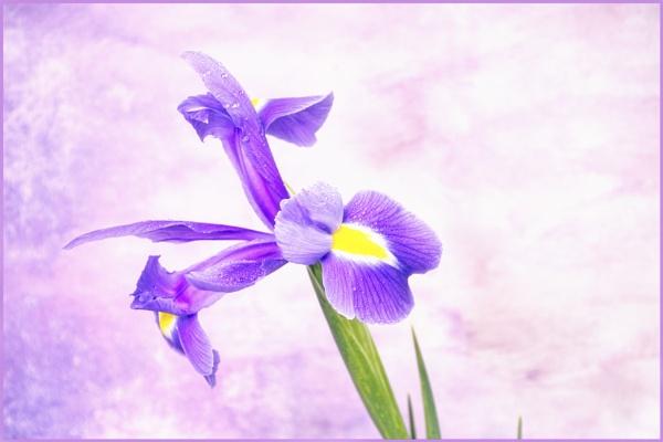 Iris 1 by KazG