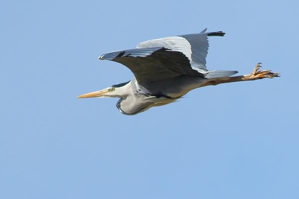 Flight of the Heron by TerryMcK