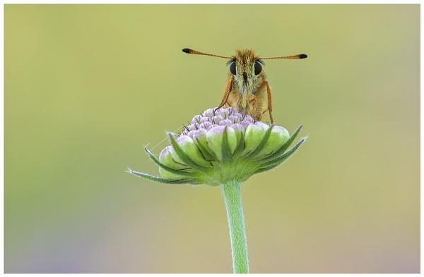 Essex Skipper - Thymelicus sylvestris. by NigelKiteley