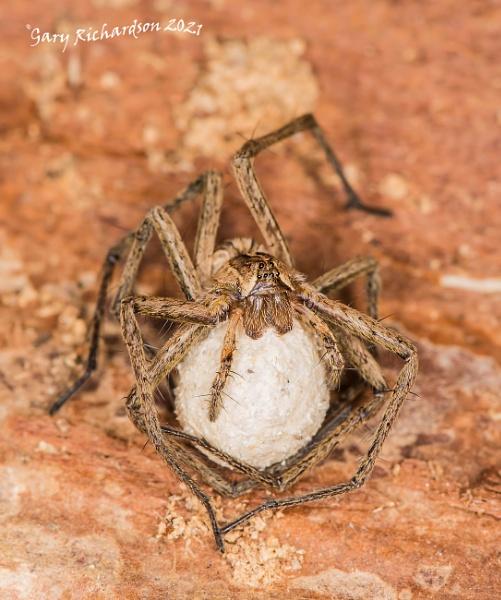 nursery web spider by djgaryrichardson