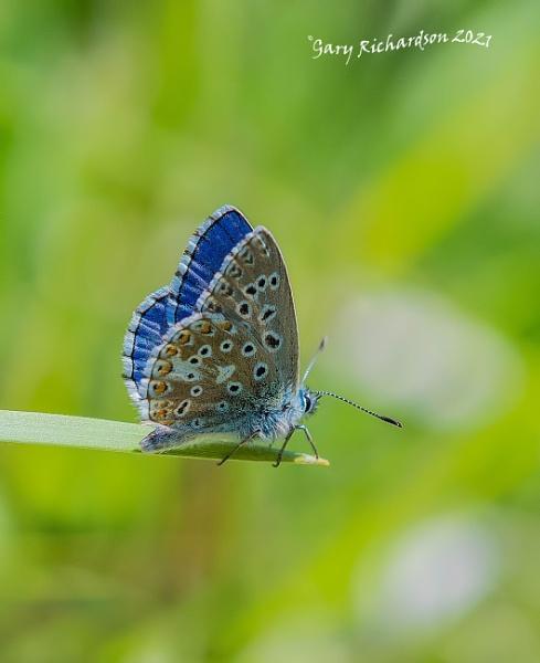 adonis blue by djgaryrichardson