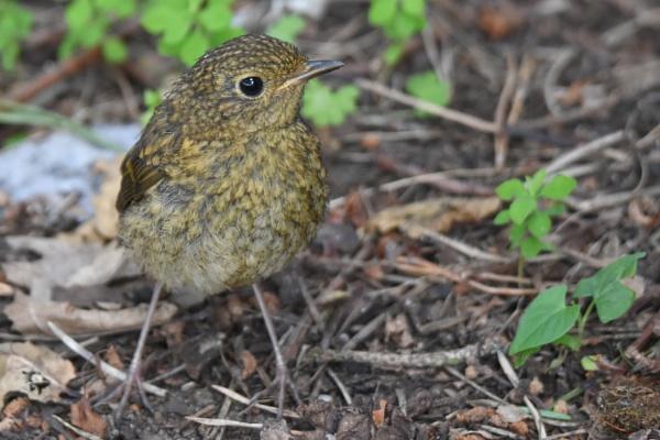juvenile Robin by alant2