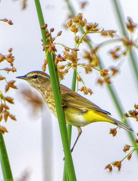 Palm warbler by jbsaladino