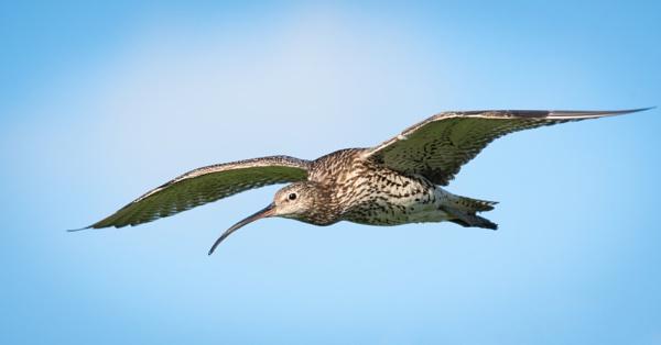 Curlew in Flight by jasonrwl
