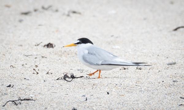 Little Tern by jasonrwl