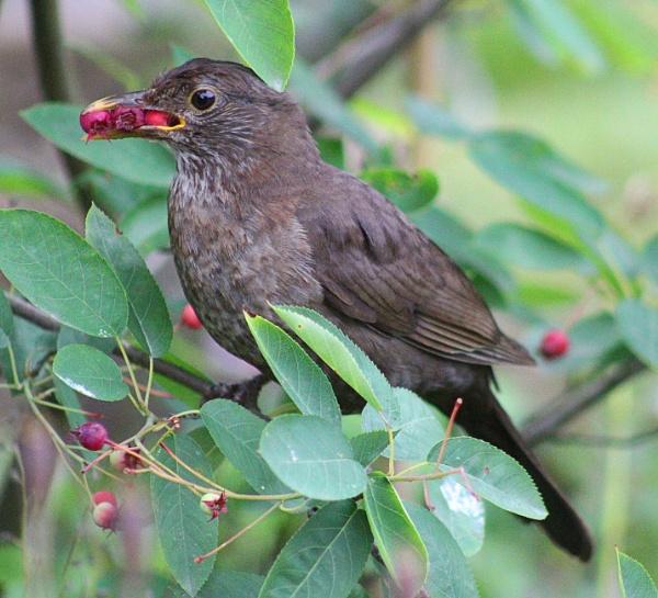 Blackbird Collecting Berries by peterkin