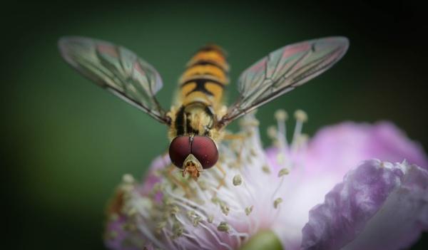 Hoverfly by mammarazzi