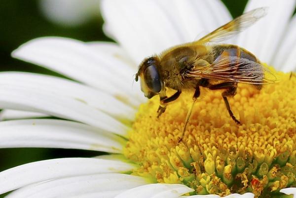 Bee @ Work by Friendlyguy