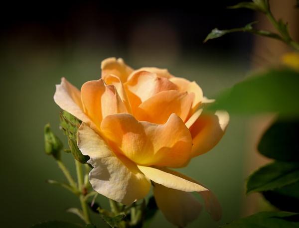Yellow Rose. by Jukka