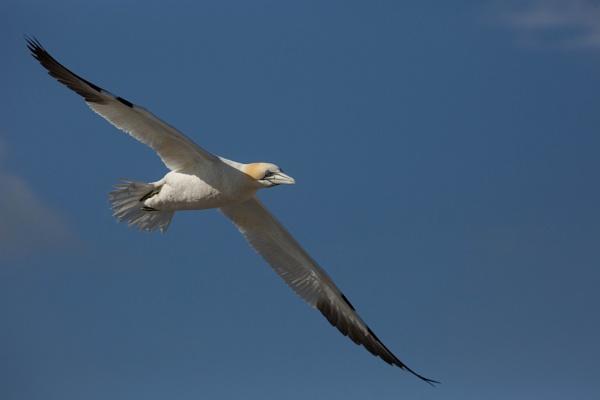 Gannet in flight by AnnJ