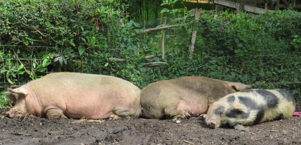 New Forest Pigs by ddolfelin
