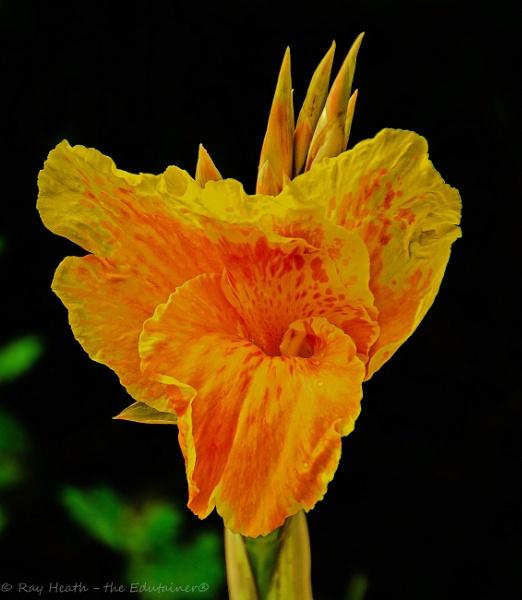 Vibrant yellow iris  flower at Longford Hall Farm Gardens by RayHeath