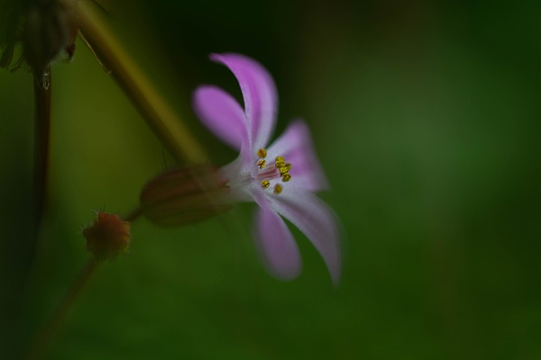 Cranesbill by kaybee
