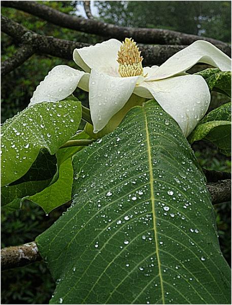 Bigleaf Magnolia by capto