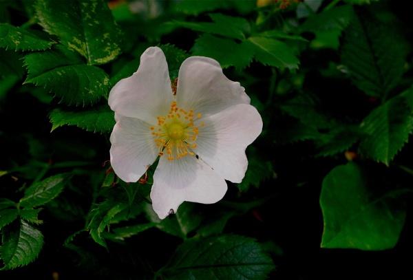 Wild Rose by af1