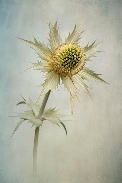 Miss Willmott\'s Ghost by flowerpower59
