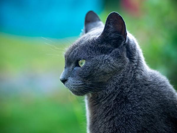 Grey Cat by victorburnside