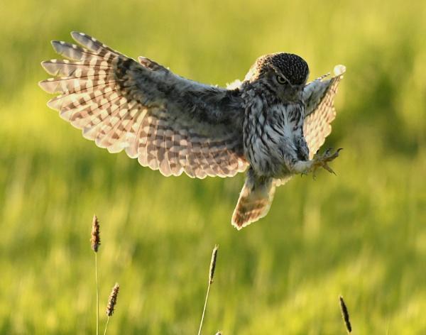 Little Owl by AlexAppleby