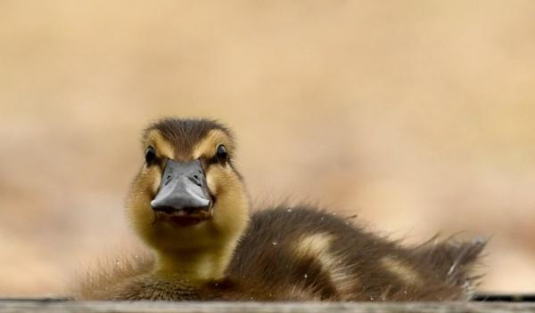 Duckling by AlexAppleby