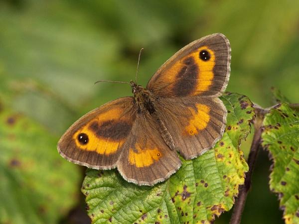 Gatekeeper Butterfly by bobpaige1