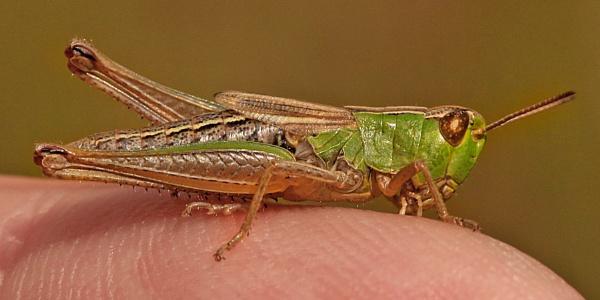 Meadow Grasshopper by bobpaige1