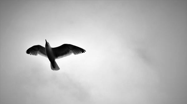 Herring gull by Madoldie