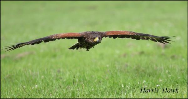 Harris Hawk by rickie