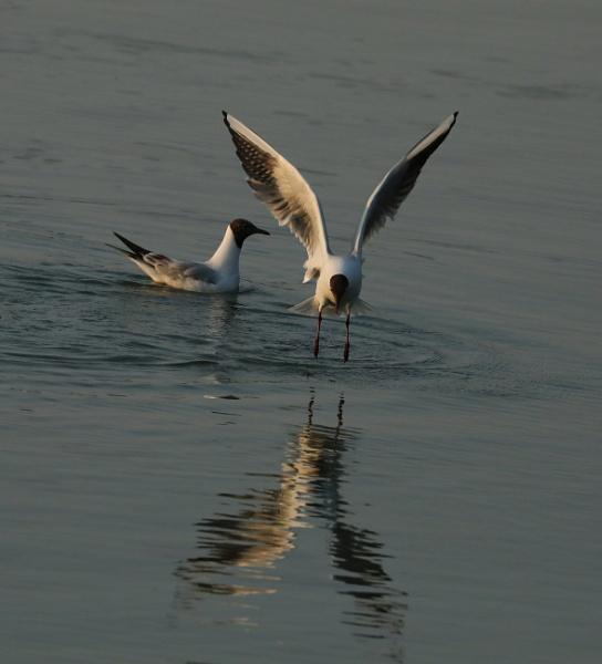 Black Headed Gulls by mikekay