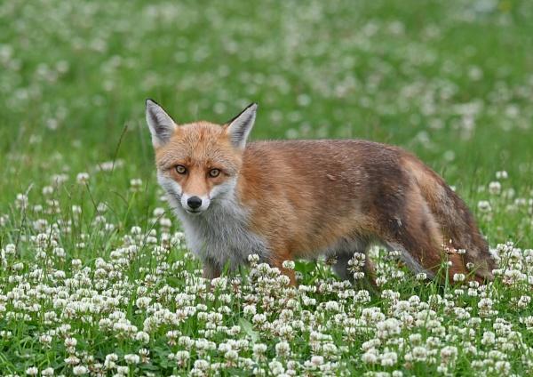 Fox in Clover by KBan