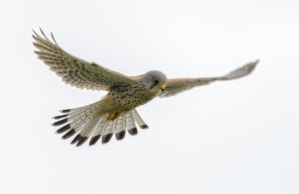 flying kestrel by gerti62