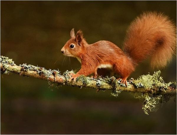 Red on Lichen Branch by MalcolmM