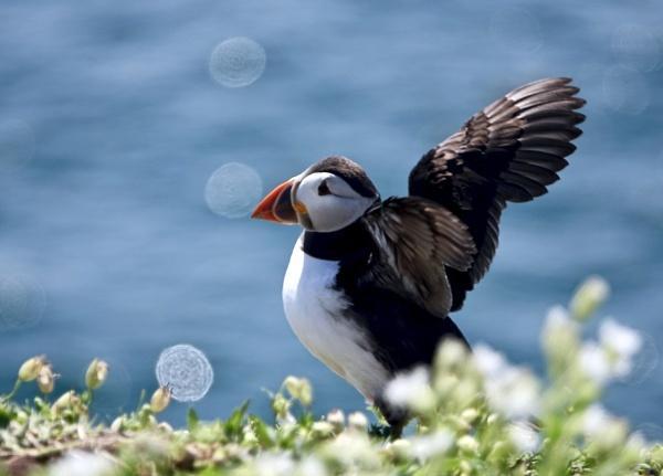 Puffin On Farne Island. by Debmercury