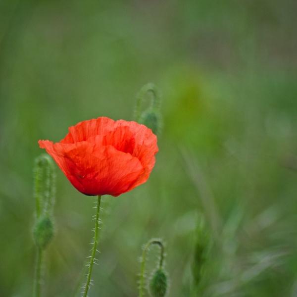 Red Poppy by icipix