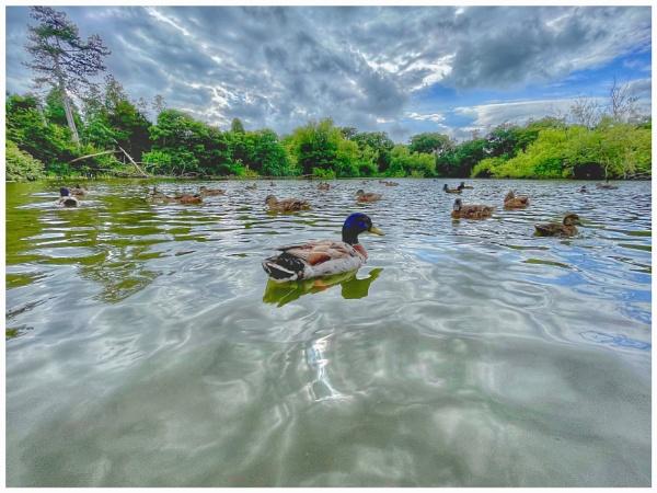Mallards on the Lake by martin174