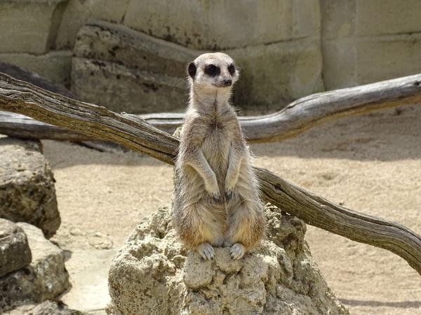 Meerkat lookout by Leon88