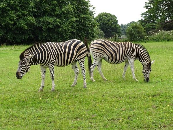 Zebras by Leon88