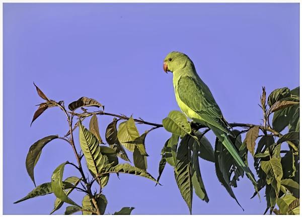Juvenile Rose Ringed Parakeet by davidgibson