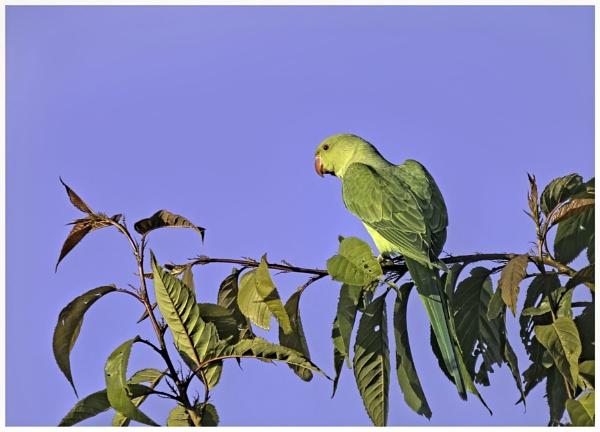 Parakeet by davidgibson