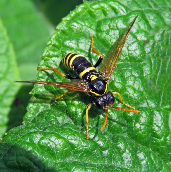 Not A Wasp by KarenFB