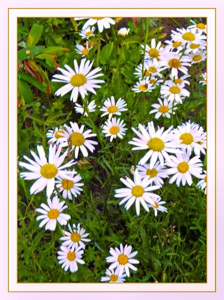 Daisy, Daisy by Joline