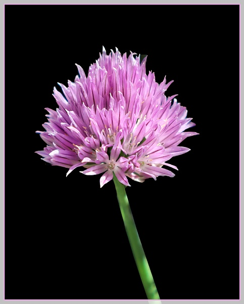 Chives by Sylviwhalley