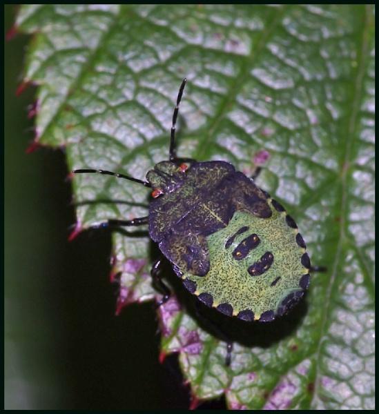 A Green Shield Bug on a Bramble Leaf. by Badgerfred