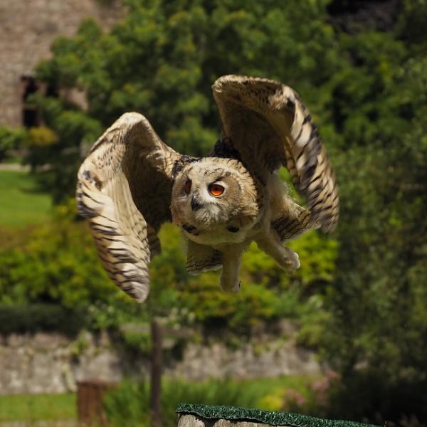 owl in flight by elmer1