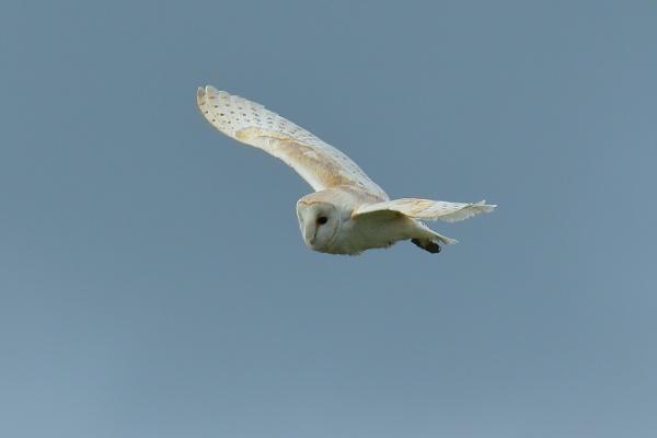 barn owl by colin beeley