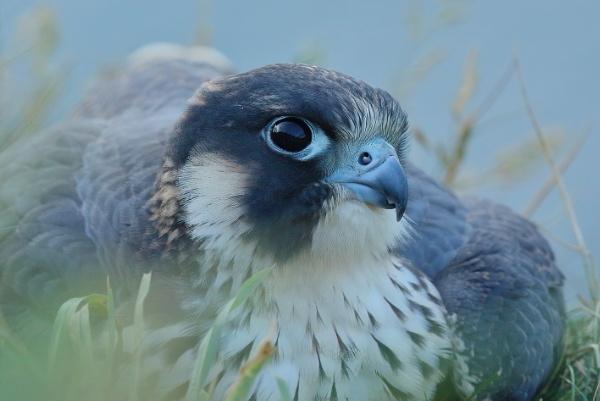 juvenile peregrine falcon by colin beeley