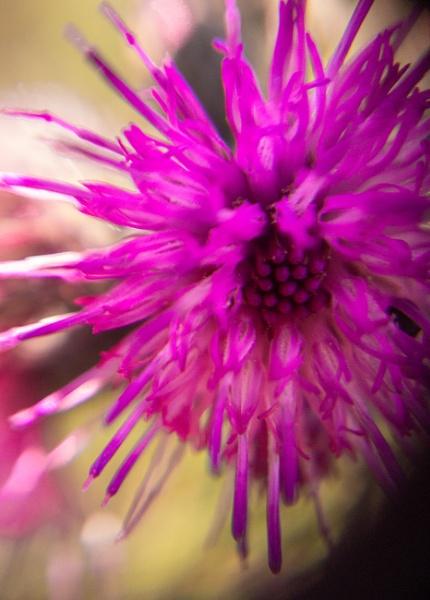 Purple Explosion by pjdavies_wales