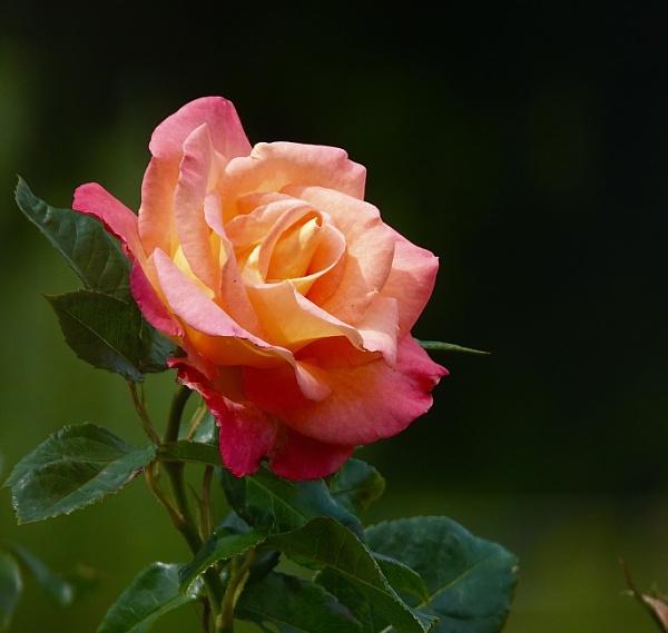 Radiant rose by HobbitDave