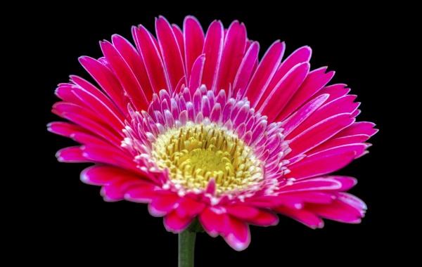 Gerbera Daisy by probie