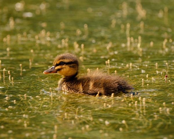 Ducklings by iNKFIEND